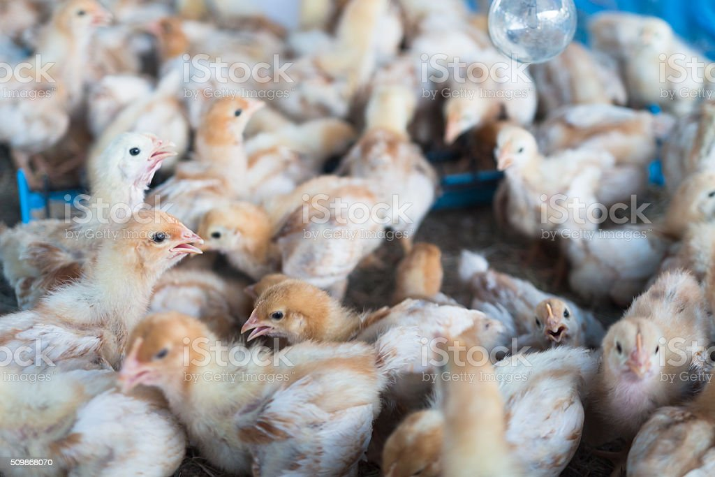Group of chicks crowded in farm stock photo