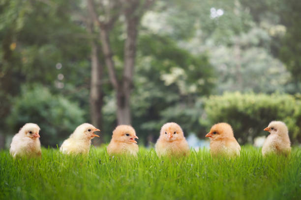 Group of Chicks in different poses in the green grass stock photo