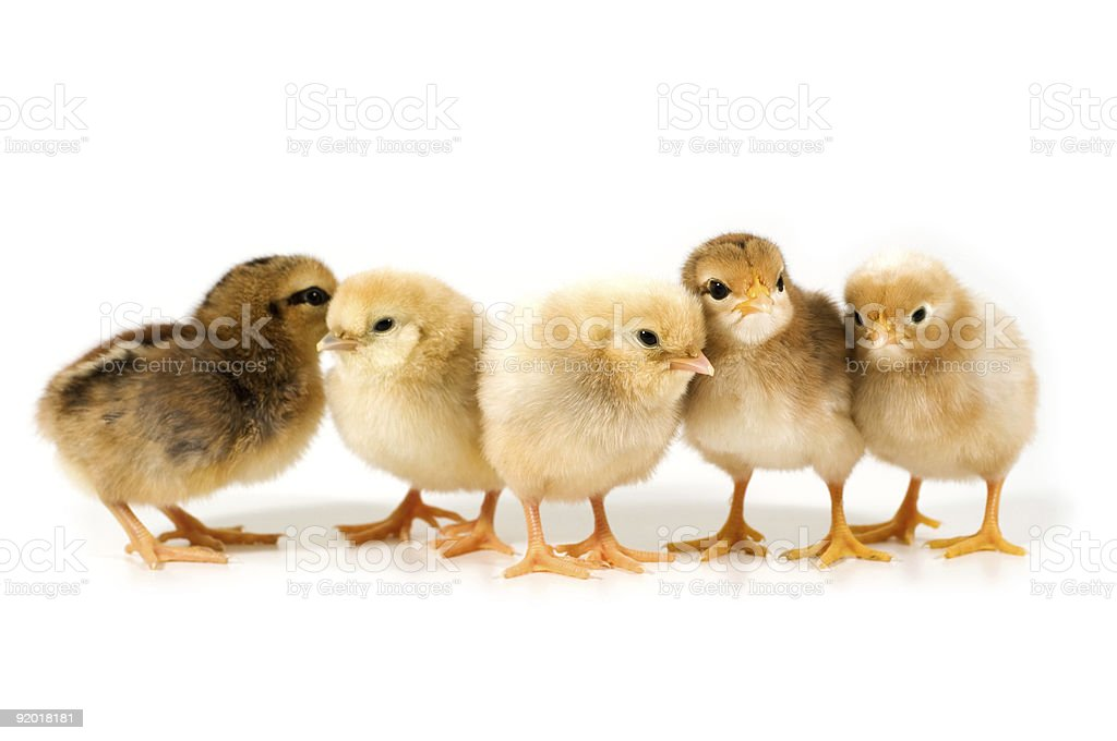 group of chicks stock photo