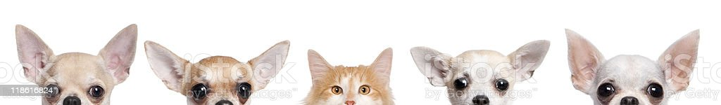 Group of Chihuahua dogs and cat against white background royalty-free stock photo