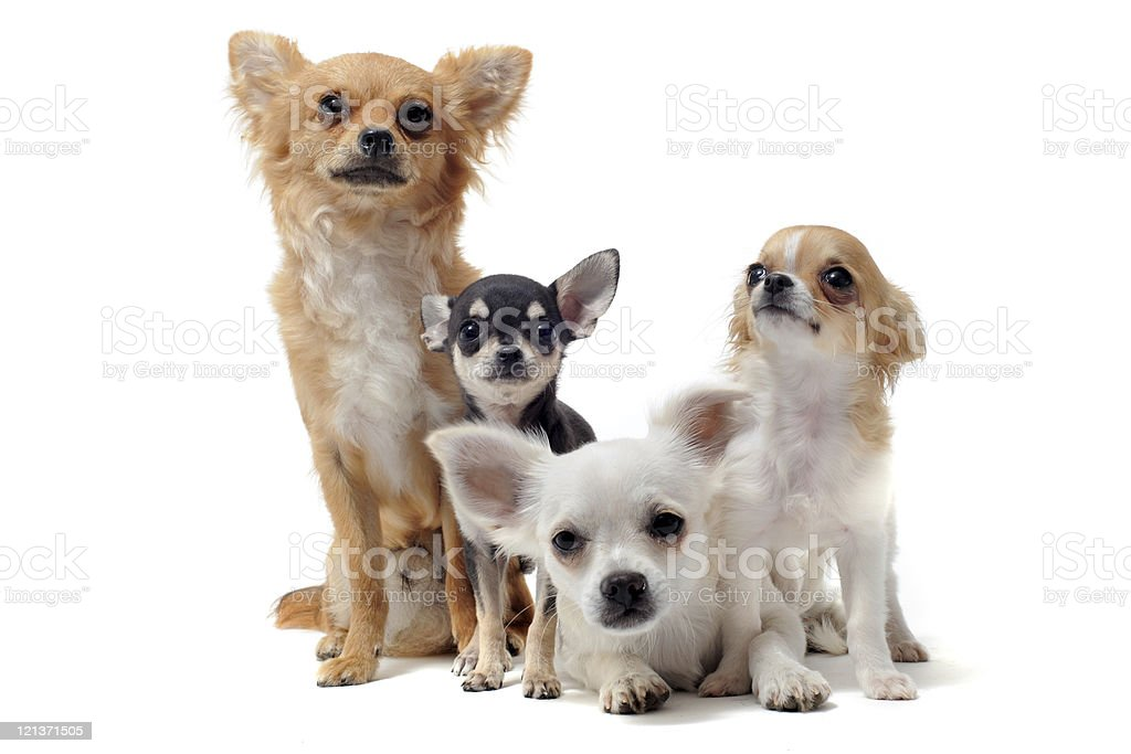 group of chihuahua royalty-free stock photo