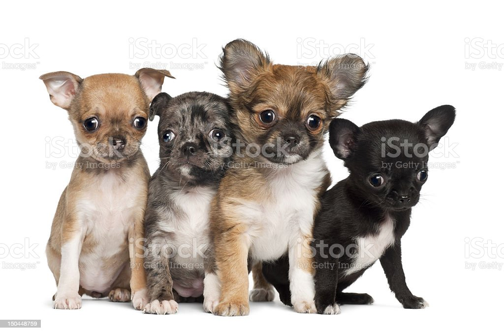 Group of Chihuahua puppy, 3 months old, sitting stock photo