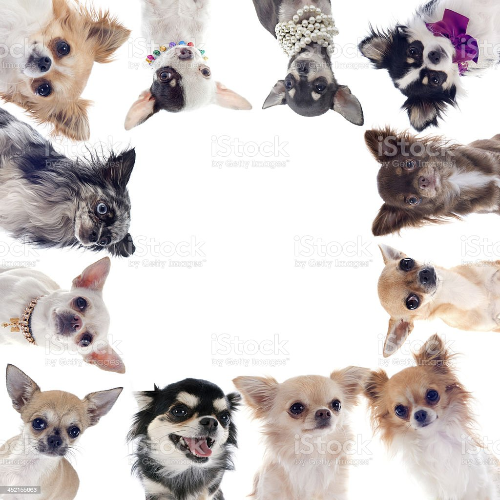 Group of chihuahuas circling around a white background stock photo