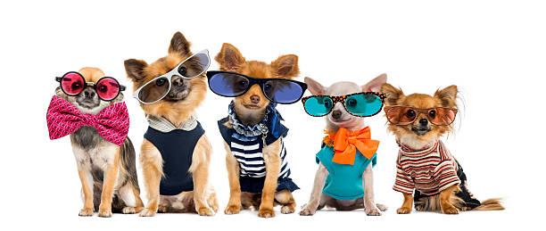 Group of chihuahuas dressed wearing glasses and bow ties picture id508260842?b=1&k=6&m=508260842&s=612x612&w=0&h=inrfajvad7hl uoan0 o7ntfh wn7eo1nh7qmdgve20=