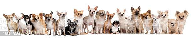 Group of chihuahuas sitting against white background picture id188147989?b=1&k=6&m=188147989&s=612x612&h=a3scpppgxhqbtzhmufcs5dsotmldzdbdd4kbsm7dp4m=