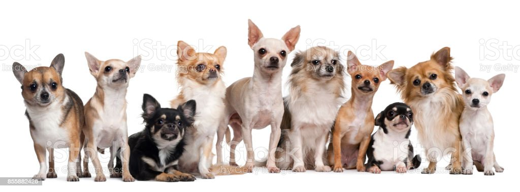Group of Chihuahuas sitting against white background stock photo
