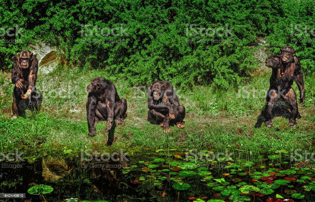 A group of chimpanzees stock photo