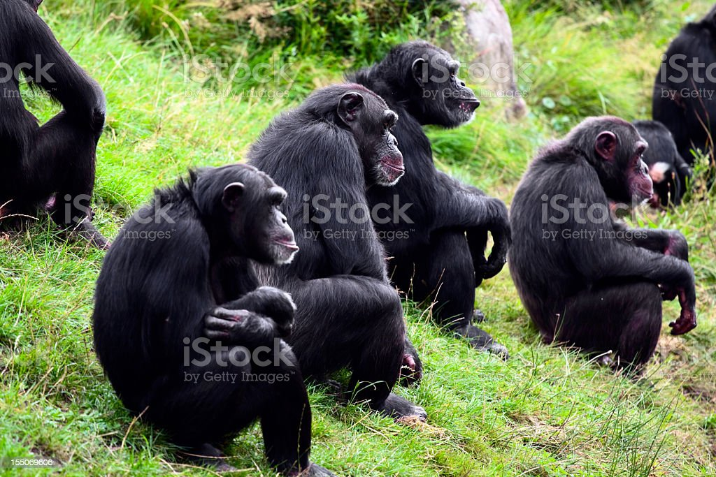 A group of chimpanzees sitting on grass stock photo