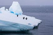 Group of chinstrap penguins on iceberg in Antarctica going to the sea to feed on krill, concept about wildlife preservation and global warming, Antarctic peninsula
