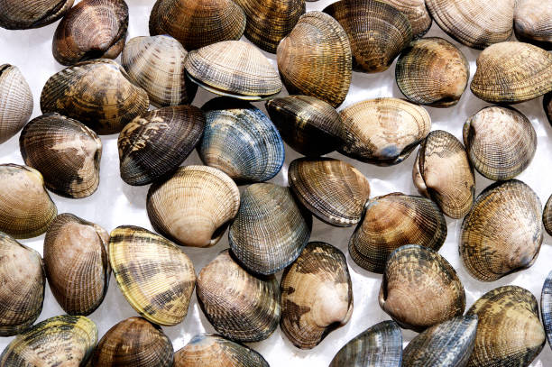 Group of Clams lying on a white background Group of beautiful coloured Clams lying on a white background Valencia Spain clams stock pictures, royalty-free photos & images