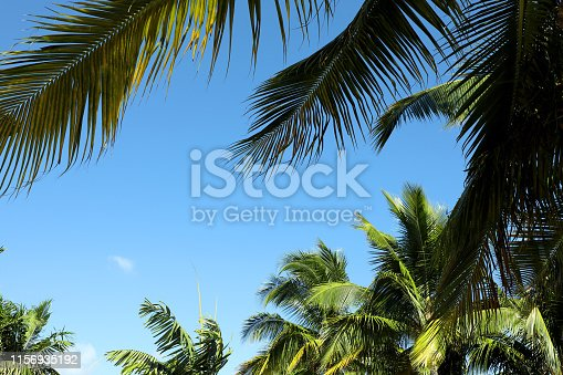 1145102719istockphoto Group of close up tall palm trees over clear blue sky 1156935192