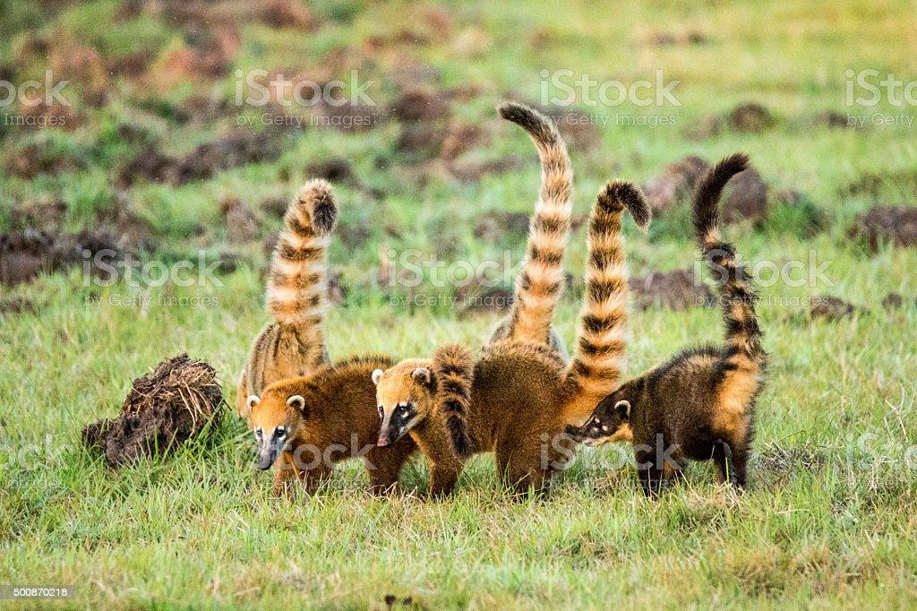 Group of Coatis in Pantanal Brazil stock photo