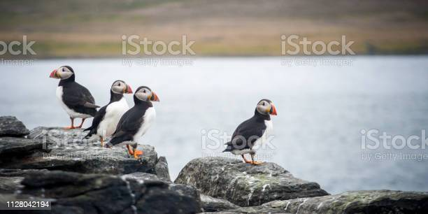 group of colorful atlantic puffins sitting on a cliff. Beautiful Icelandic birds