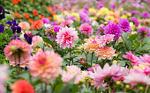 Group of Colorful dahlia flower