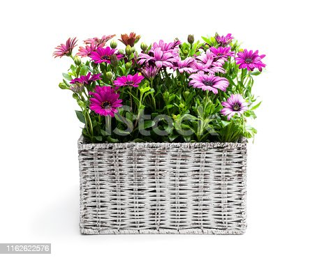 Group  of colorful daisy flowers in white wicker basket isolated on white