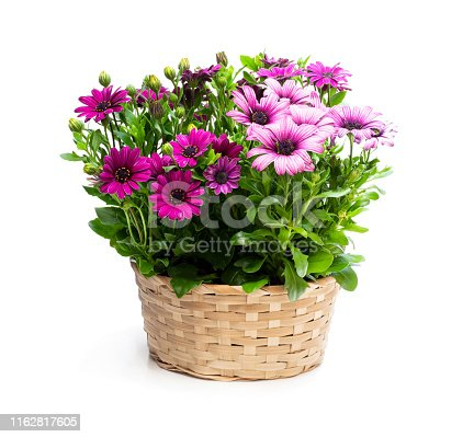 Group  of colorful daisy flowers in wicker basket isolated on white
