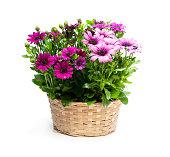 白に隔離されたウィッカーバスケットのカラフルなヒナギクの花のグループ