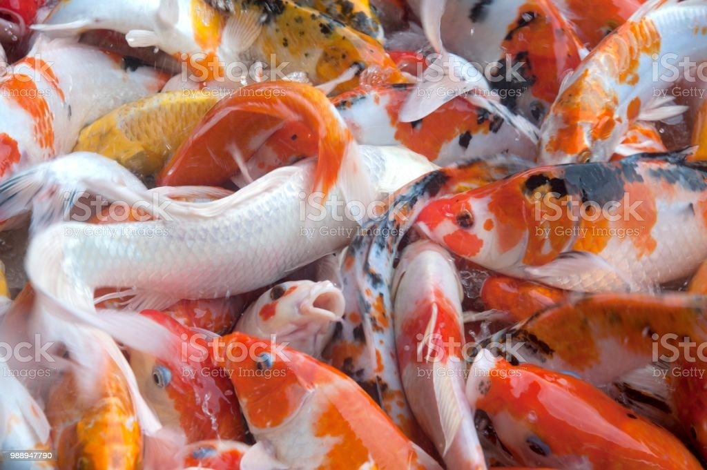 Group of colorful fancy Koi carp fish swimming in the pond. stock photo