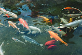 Group of koi carp in the water