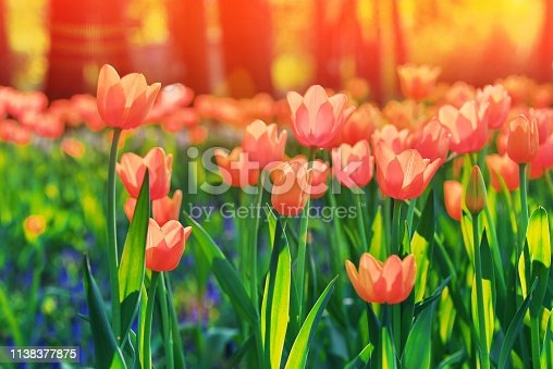 istock Group of colorful tulip. red, pink, orange, coral flower tulip lit by sunlight. Soft selective focus, close up. Bright tulip photo on thrive green background Trendy color. 1138377875