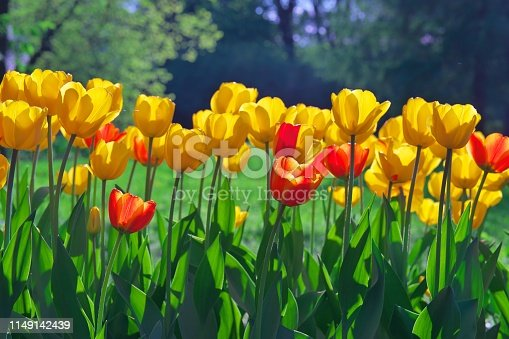 istock Group of colorful tulip. red, pink, yellow flower tulip lit by sunlight. Soft selective focus, tulip close up. Bright sunny colorful tulip photo background Spring nature for web banner and card design 1149142439