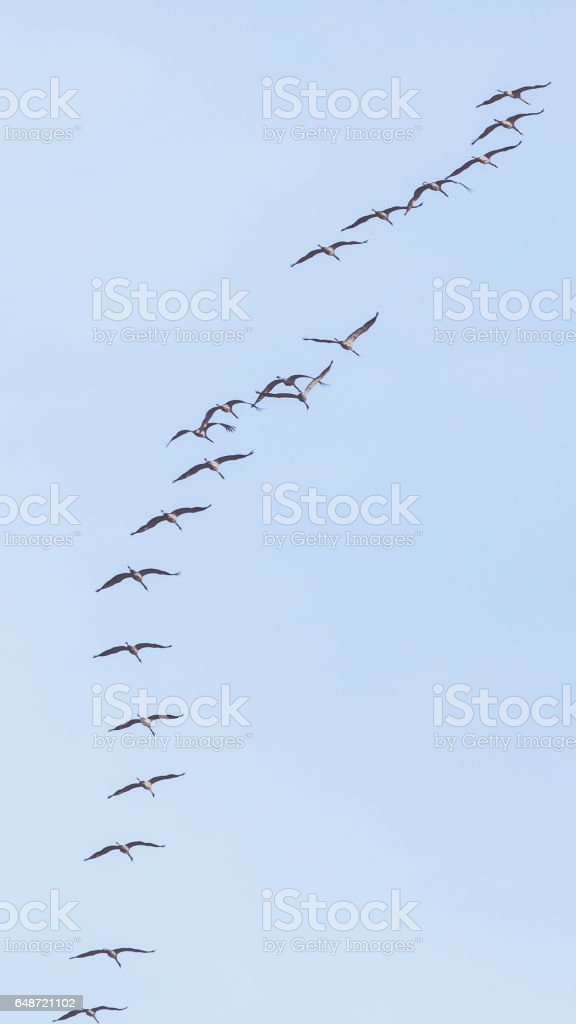 Group of Common crane ( Grus Grus) in the sky above stock photo