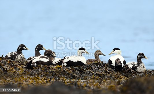 Group of Common eiders lying in seaweeds, Iceland.
