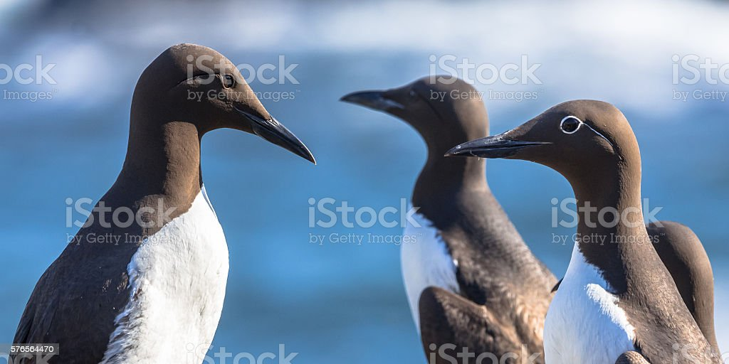 Group of Common guillemot stock photo