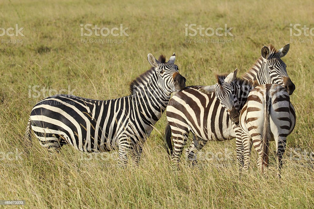 Group of common zebras royalty-free stock photo
