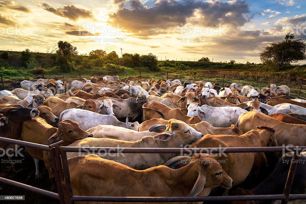 グループの牛 cowshed で、美しい夕暮れの風景 ストックフォト