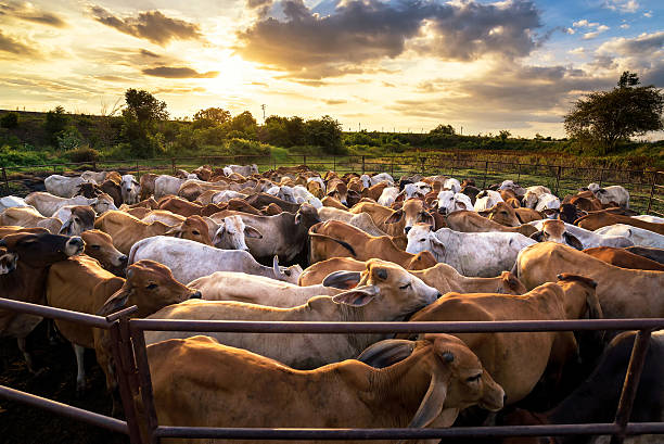group of cow in cowshed with beautiful sunset scene group of cow in cowshed with beautiful sunset scene ranch stock pictures, royalty-free photos & images