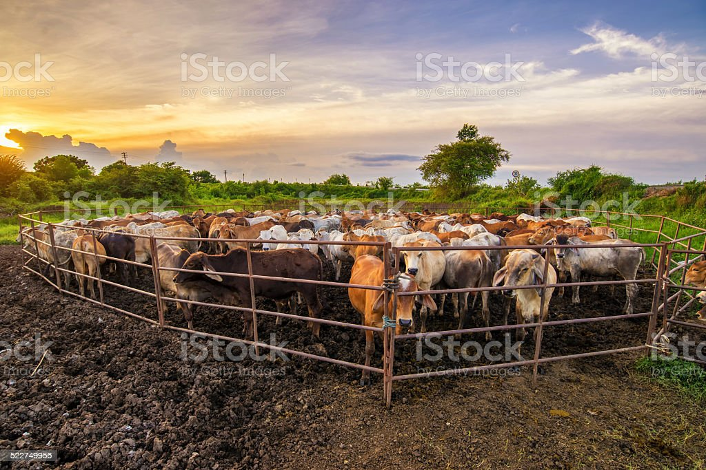 group of cow in cowshed with beautiful sunset scene stock photo