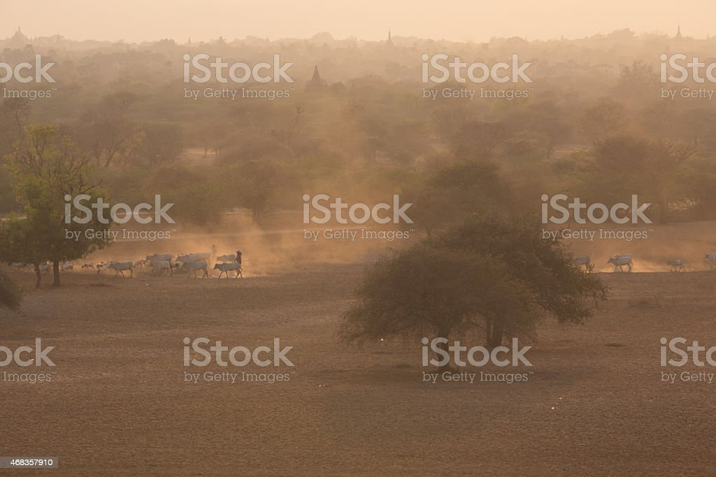 Group of cow walking on dusty road, Bagan, Myanmar royalty-free stock photo