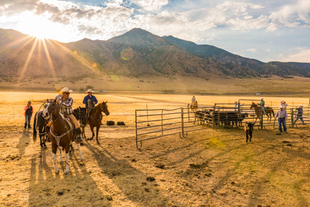 Group of Cowboys and Cowgirls Herding Cattle Cattle being herded by cowboys and cowgirls ranch stock pictures, royalty-free photos & images