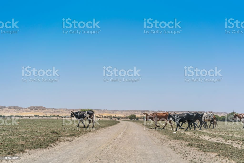 Group of cows grazing in the oasis of the Namib Desert. Angola. stock photo