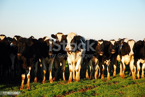 A herd of dairy cows crowd together in a meadow of a farm
