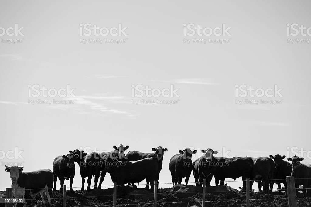 Group of cows in intensive livestock farm land, Uruguay stock photo