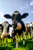 Group of cows looking into the lens with a blue sky in the background during a beautiful summer day.