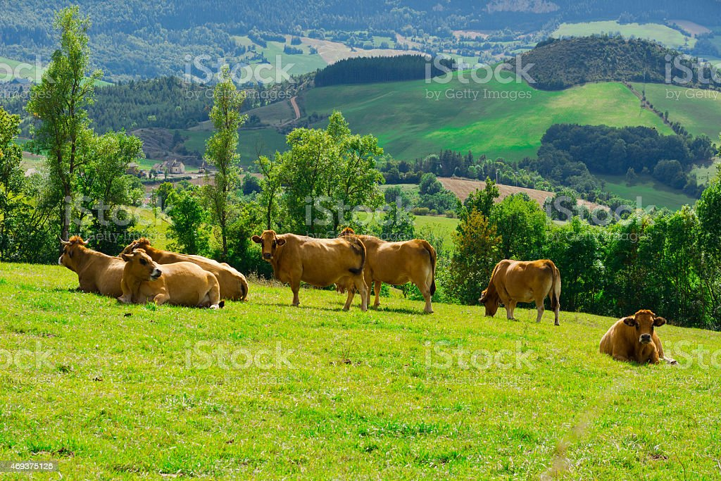 Group of cows on a beautiful, lush green hillside stock photo