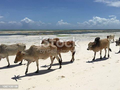 Group of Cows Walking on Sandy Beach in Africa.