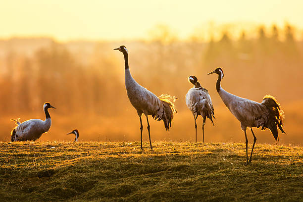 group of crane birds in the morning on wet grass - crane bird stock pictures, royalty-free photos & images