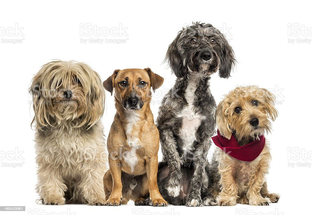 Group of Crossbreed sitting and looking stock photo