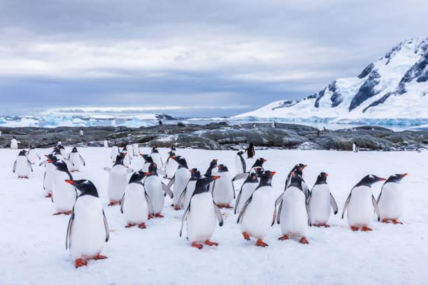 Gruppe von neugierigen Gentoo Pinguin starrt in der Antarktis, Krippe oder Waddle von juvenilen Seevogel auf Gletscher, Kolonie in antarktische Halbinsel, Schnee und Eislandschaft – Foto