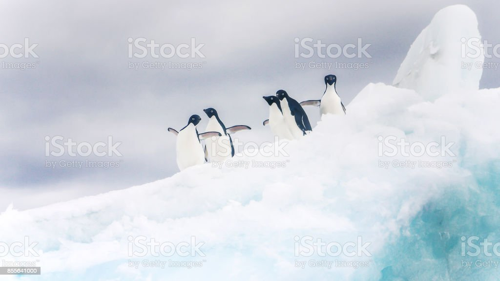 A group of cute Adelie penguins standing on a fluffy white iceberg with wings outstretched and looking at the camera. Antarctica. stock photo