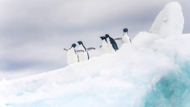 eine gruppe von niedlichen adelie-pinguine stehen auf einer flauschigen weißen eisberg mit ausgestreckten flügeln und schaut in die kamera. antarktis. - 5 kontinente stock-fotos und bilder