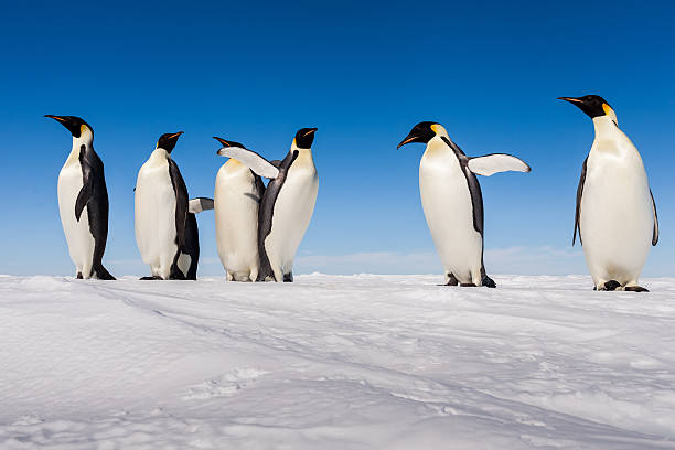 Group of cute Emperor penguins cheering on ice This group of cute and curious Emperor penguins was photographed during summer on the continent of Antarctica. emperor penguin stock pictures, royalty-free photos & images