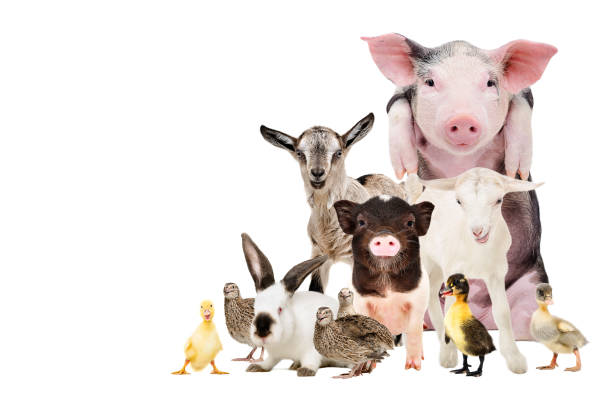 group of cute farm animals together, isolated on white background - bestiame foto e immagini stock