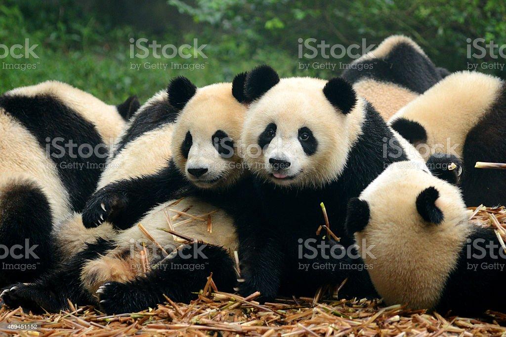 Group of cute giant panda bear eating bamboo Chengdu, China stock photo