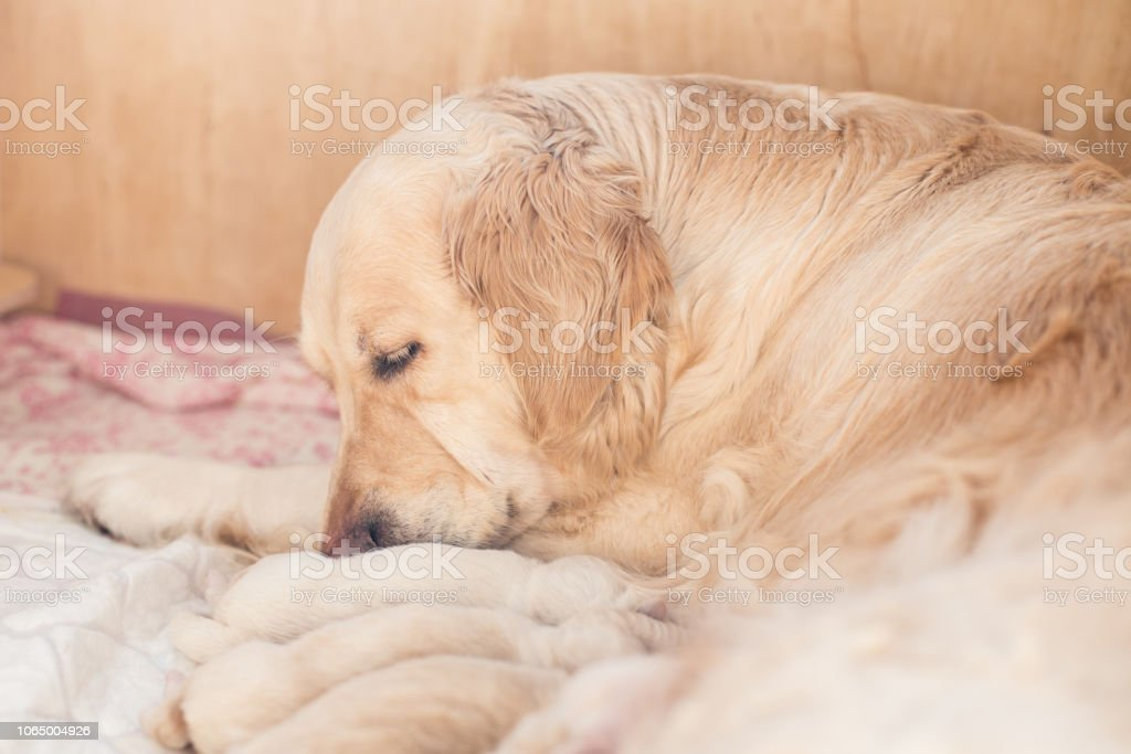 Group of cute newborn beige golden retriever puppies have milk from their  mom. Mommy dog takes care of her babies puppy - Stock image .
