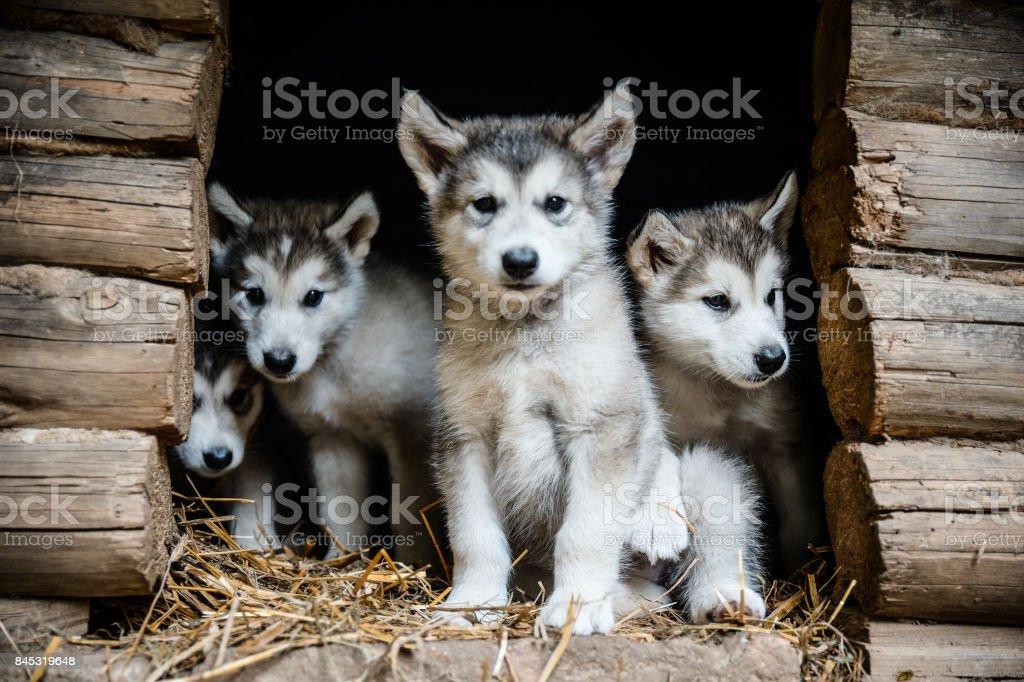 group of cute puppy alaskan malamute run on grass garden stock photo